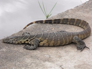monitor_lizard_by_geistis-d4nigw7