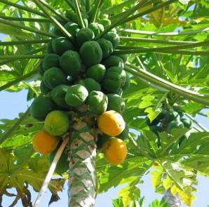 how-to-grow-papaya