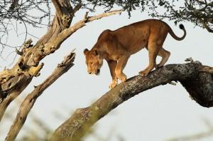 lion-in-tree